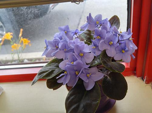 fialki-flowers